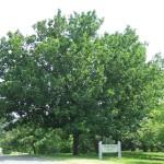 Quercus_mongolica