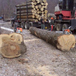 Big logs on logging truck.